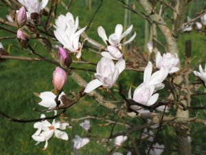 Magnolia 'Lucy Carlson'