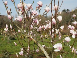 Magnolia 'Paul Cook'