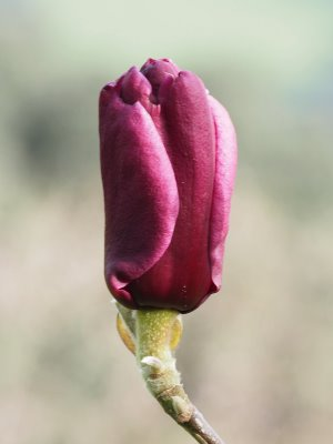 Magnolia 'Dark Bird'