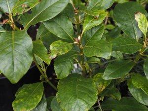 Coprosma grandiflora