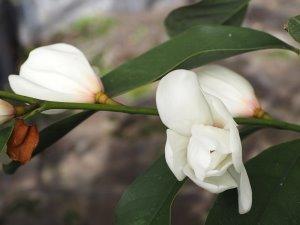 Magnolia laevifolia x M. maudiae 'Eternal Spring'