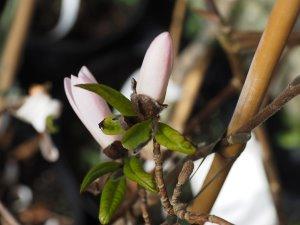 Magnolia x loebneri 'Pink Stardust'