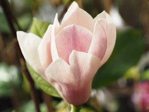 Magnolia 'Practically Magic'