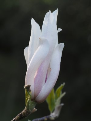 Magnolia 'Chamaeleon'