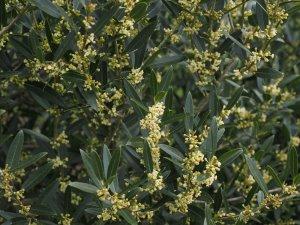 Phillyrea latifolia