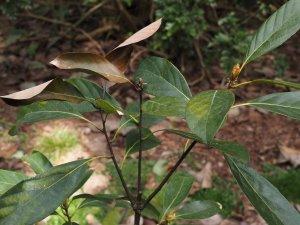 Quercus fleuryi
