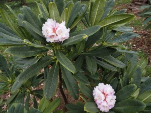 Rhododendron heliolepis