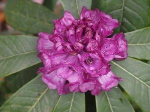 Rhododendron niveum