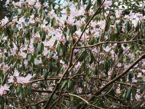 Rhododendron wilsonae