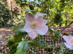 Camellia 'Quintessence'