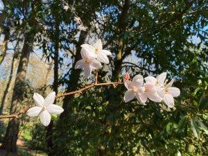 Melliodendron xylocarpum