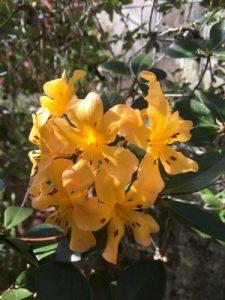 Rhododendron magregoriae