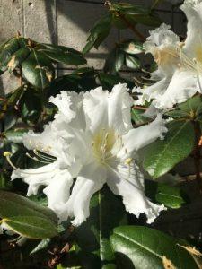 Rhododendron veitchianum
