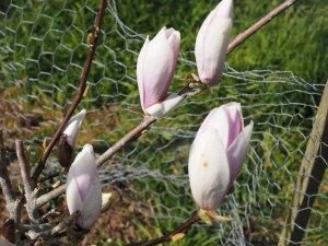 Magnolia soulangeana 'Beugnon'