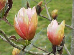 Magnolia 'Apricot Brandy'