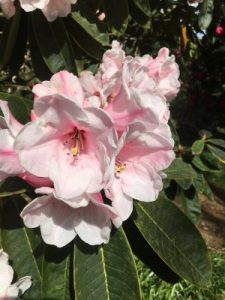 hybrid between Rhododendron 'Titness Park' (a calophytum cross or form I was given by Windsor) and Rhododendron 'Rebecca'