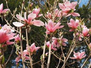 Magnolia 'Blushing Belle'