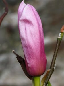 Magnolia 'Purple Globe'