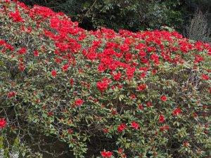 Rhododendron 'Elizabeth'