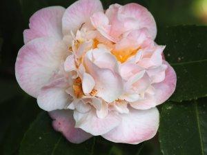 Camellia 'High Fragrance'