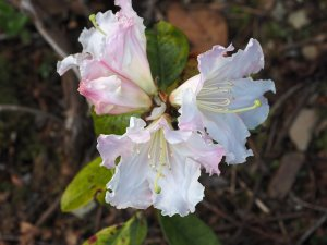 Rhododendron 'Jim Russell'
