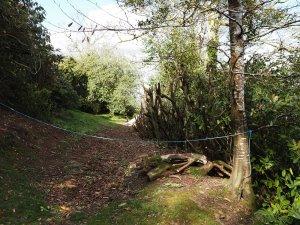 laurel hedge cutting