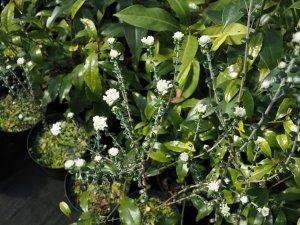 Pimelia drupacea