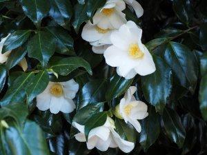 Camellia x williamsii 'Francis Hanger'