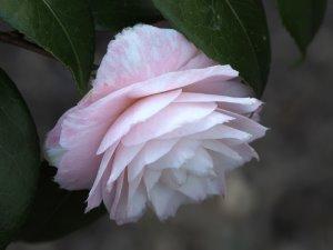 Camellia 'Grace Albritton'