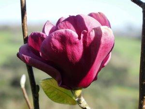 Magnolia 'Black Bird'