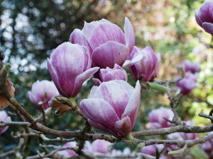 Magnolia 'Pickards Garnet'