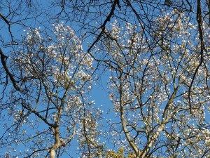 Magnolia x veitchii 'Isca'
