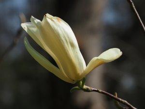 Magnolia 'Ivory Chalice'
