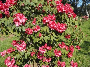 Rhododendron 'Lady Montague Group'
