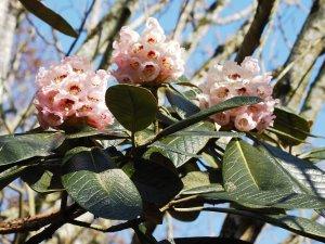 Rhododendron sinogrande 'Lord Rudolf'