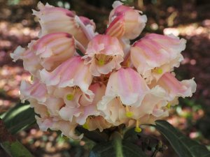sinogrande seedling