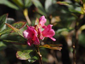 Rhododendron calostrotum?