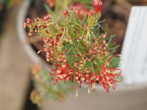 Grevillea thelemanniana 'Baby'