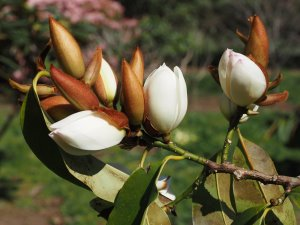 Michelia 'Touch of Pink'