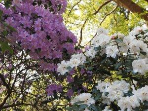 Rhododendron edgeworthii x leucaspis and Rhododendron augustinii