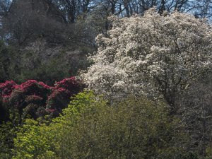 Magnolia veitchii 'Isca' and Rhododendron 'Cornish Red'