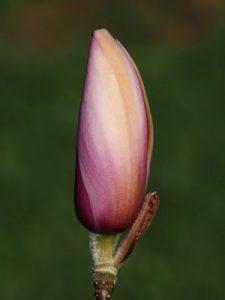 Magnolia 'Flamingo'