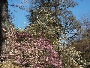Magnolia denudata, Magnolia 'Caerhays Surprise' and Magnolia 'Elizabeth'