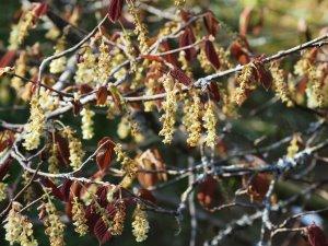 Corylopsis sinensis 'Spring Purple'