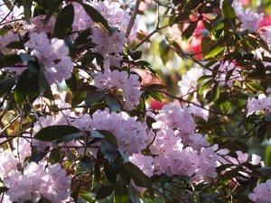 Rhododendron oreothrephes