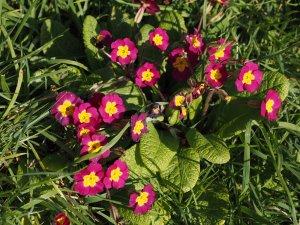 primulas and primroses