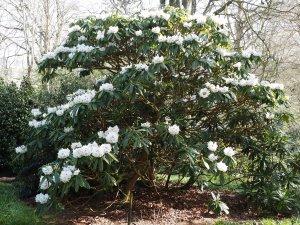 Rhododendron calophytum seedlings