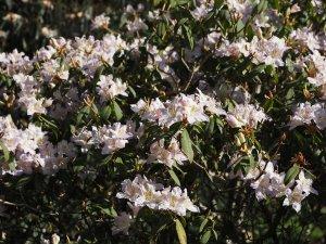 Rhododendron yunnanense