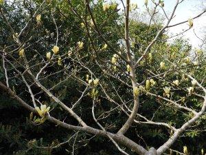 Magnolia 'Golden Goblet'