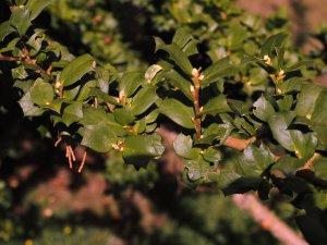 Griselinia jodonifolia